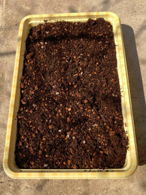 実生のキンカンを育ててみる その2 タネをまいた 器とタネに土をかぶせた