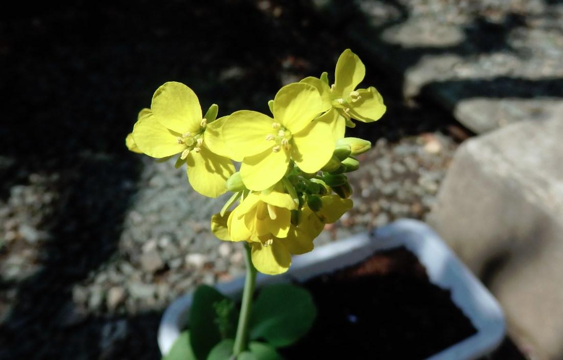 チンゲンサイの花が咲きました(他にもいくつか咲きました) チンゲンサイの花