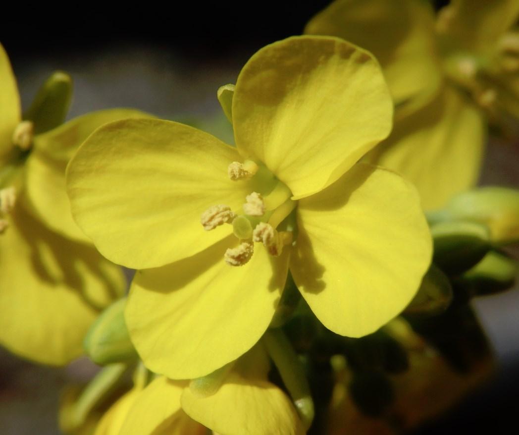 チンゲンサイの花が咲きました(他にもいくつか咲きました) チンゲンサイの花 接写