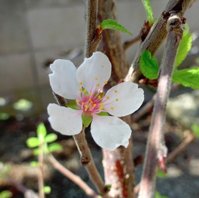 チンゲンサイの花が咲きました(他にもいくつか咲きました) ユスラウメの花