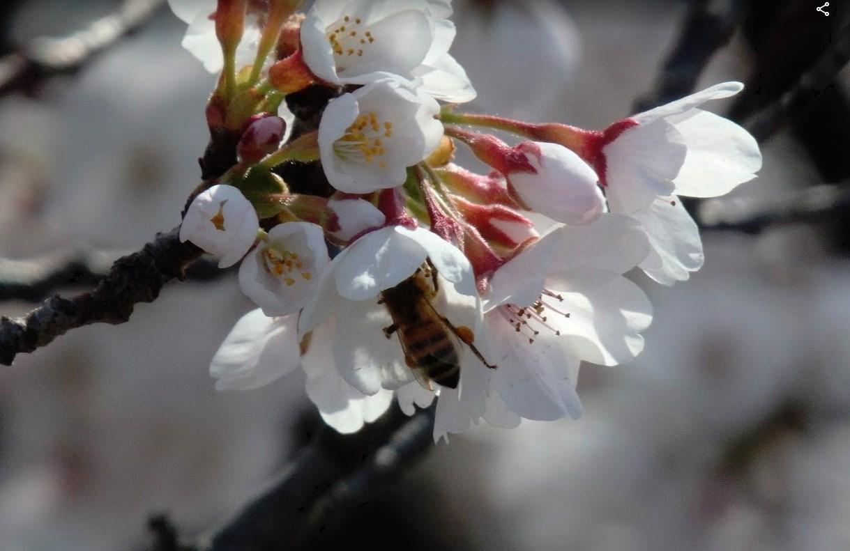 チンゲンサイの花が咲きました(他にもいくつか咲きました) サクラの花とミツバチ