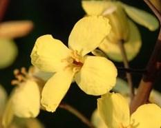 チンゲンサイの花が咲きました(他にもいくつか咲きました) キャベツの花