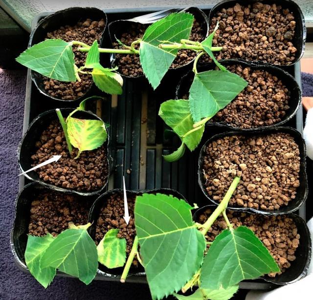 実生のキンカンを育ててみる その6 桜(ソメイヨシノ)の挿し木のその後-2