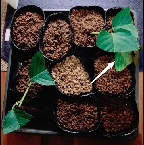 実生のキンカンを育ててみる その6 桜(ソメイヨシノ)の挿し木のその後-3
