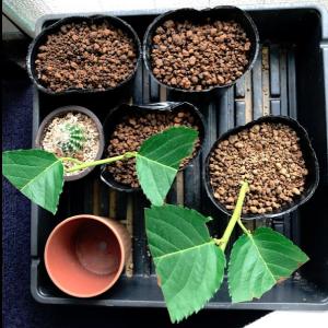 実生のキンカンを育ててみる その7 桜(ソメイヨシノ)の挿し木のその後のその後 7月6日