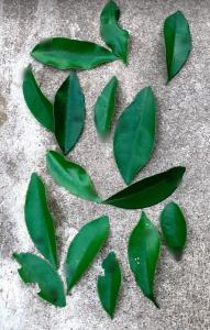 実生のキンカンを育ててみる その7 桜(ソメイヨシノ)の挿し木のその後のその後 キンカンの葉と幼虫